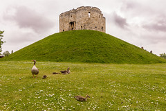 Goose Family (Wagner_Photographic) Tags: york uk greatbritain nightphotography family flowers wild england sky green castle field grass animals architecture clouds daisies buildings project skyscape landscape outdoors photography countryside geese amazing nikon exposure skies village exploring yorkshire explorer illumination hills tokina explore international goslings u iconic cloudporn hama dx picoftheday nym explores manualexposure exposur explored 1116mm trending d7200 wagnerphotographic