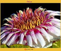 Victoria// (shaman_healing) Tags: autumn flower bayern bavaria waterlily herbst victoria exotic botanic blume erlangen giantwaterlilies seerose botanik botanischergartenerlangen botanicalgardenerlangen riesenseerosen