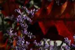 Autumn colors ... (La_Pingu) Tags: autumn red primavera spring nikon warm purple autumncolors coolpix autunno rosso calore p90 lilla coloriautunnali nikoncoolpixp90