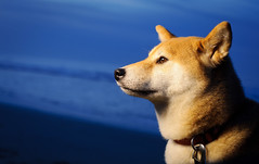 Shiba Profile (kaoni701) Tags: portrait dog night 50mm suki shibainu halfmoonbay cto pocketwizard strobist d700 sb900 flextt5