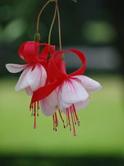 Fuchsias (Home Land & Sea) Tags: flowers newzealand summer fuchsia nz hastings sonycybershot hawkesbay cornwallpark simplyflowers explored homelandsea johnholtmemorialdisplayhouse dschx100v