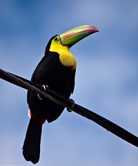 Costa Rican Icon (katrin glaesmann) Tags: november bird animal costarica keelbilledtoucan ramphastossulfuratus 2011 fischertukan regenbogentukan rainbowbilledtoucan sulfurbreastedtoucan tucnpicoiris