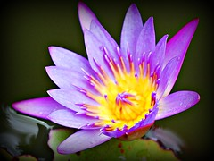 ~~Tropical Waterlily/Oahu, Hawaii #4~~ (TravelsThruTheUniverse) Tags: waterlilies ponds tropicalplants tropicalflowers waterfeatures zengardens exoticflowers summergardens tropicalgardens tropicalfoliage waterinthegarden tropicallandscapes ringexcellence