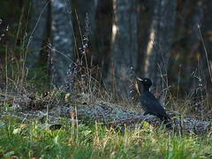 Woody Woodpecker on a forest bench (LuMi_67) Tags: bird nature finland woodpecker woody blackwoodpecker dryocopusmartius palokärki