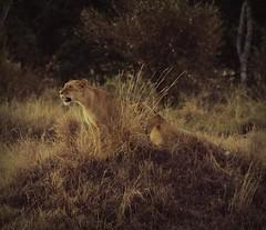 Night falls in Mara (Mai Do Asensi) Tags: nature kenya safari lions masaimara wildanimals colorphotoaward africawildlive
