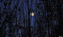 Hide And Seek With Moon (Behzad No) Tags: life moon tree fall night nice alone sad iran shiraz fars nikond90 behzadno