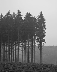 Frhnebel (Cherry Coke 90) Tags: morning trees mist fog forest canon nebel foggy wald bume morgens tannen frhnebel