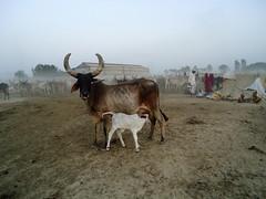 Herder Settlement in evening (vik1138) Tags: india village cows dusk herd haryana rabbari canonrebelt2i