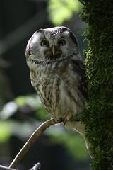 Ptik kapcav (Aegolius funereus); Boreal Owl (Stano Chud) Tags: bird birds canon zoo bayerischerwald vtky canon100400mmisusm