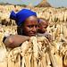 drying organic corn