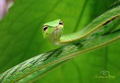 Green Vine Snake-4 (Sudheendr Bhat . India) Tags: india macro green eye nature beauty shine snake sony bangalore vine western karnataka ghat h50 sirsi sudhee taddalse