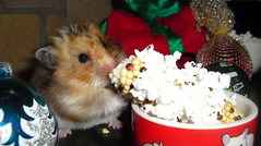 For me? (jellybaby86) Tags: hamster satin syrian longhaired dandydust
