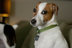 Poised (joshames) Tags: dog jackrussellterrier griz grizwald