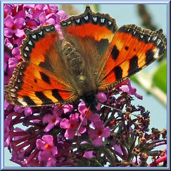 Some color for another grey day. (Cajaflez) Tags: orange butterfly purple ngc npc kleinevos smalltortoiseshell oranje vlinder paars vlinderstruik nymphalidae budleia 100commentgroup saariysqualitypictures mygearandme mygearandmepremium mygearandmebronze mygearandmesilver bbng