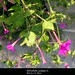 "Mirabilis jalapa L., Nyctaginaceae • <a style=""font-size:0.8em;"" href=""http://www.flickr.com/photos/62152544@N00/6596763759/"" target=""_blank"">View on Flickr</a>"