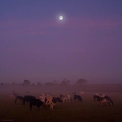moooooooon (Jon Downs) Tags: morning trees sky moon mist color colour tree art colors field fog digital canon downs landscape photography eos dawn cow photo jon flickr artist colours photographer cows image picture meadow pic photograph 7d moonlight herd regis grafton jondowns