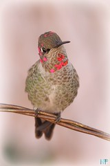 Anna's Hummingbird 010212-6 (luluhachidori) Tags: california pink orange bird canon eos hummingbird purple allens southern 7d annas costas   allofnatureswildlifelevel1 allofnatureswildlifelevel2