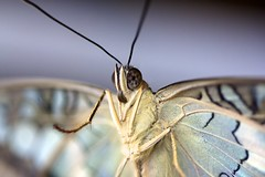 Looking my eyes..... (Peonia69) Tags: macro closeup butterfly papillon makro schmetterling kerzers papilonrama