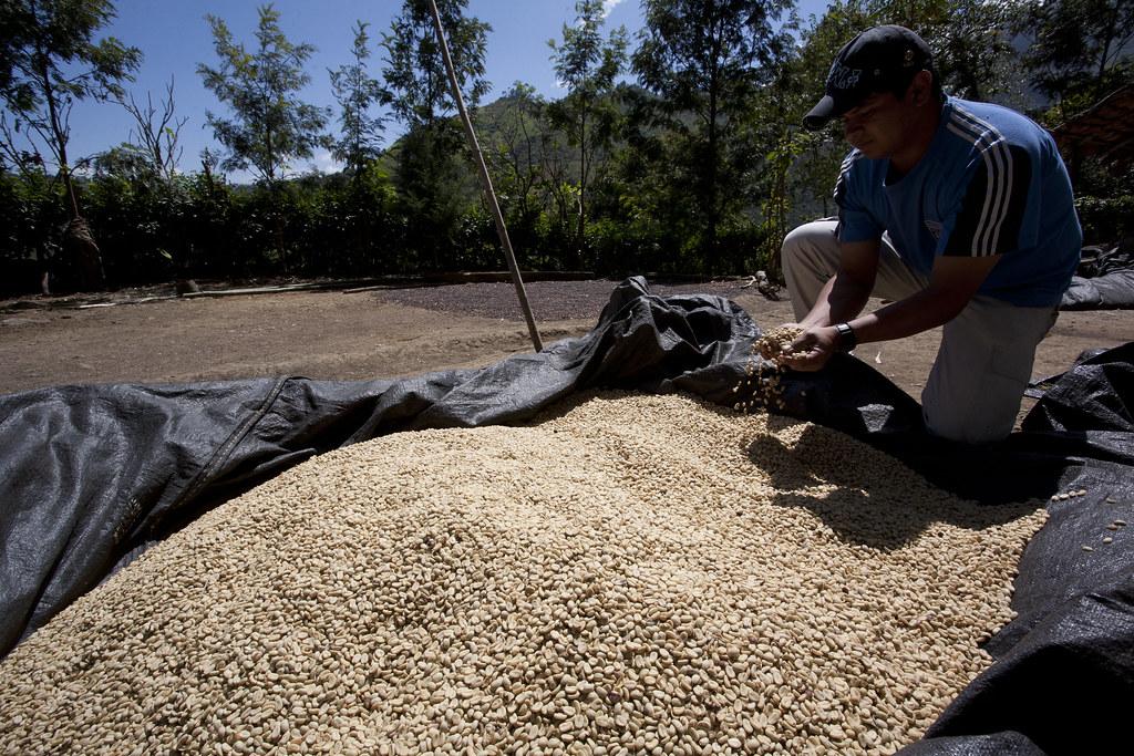 Producteurs de cafe