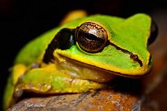 Le Frog [The Relations Project : 1] (Bart Huizinga) Tags: tree leaf costarica ngc frog npc treefrog leaffrog floraandfaunaoftheworld allofnatureswildlifelevel1 allofnatureswildlifelevel2 allofnatureswildlifelevel3 allofnatureswildlifelevel4 allofnatureswildlifelevel5 allofnatureswildlifelevel8 allofnatureswildlifelevel6 allofnatureswildlifelevel7 allofnatureswildlifelevel9 allofnatureswildlifelevel10