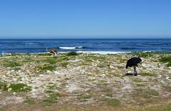 Strauße am Meer, NGIDn1461110107 (naturgucker.de) Tags: southafrica struthiocamelus strau naturguckerde sdafrika crainermnke capepointarea ngidn1461110107
