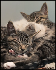Sleeping Kitties - Richmond Centre X007e (Harris Hui (in search of light)) Tags: pet cats pets canada cute vancouver fuji bc rainyday tabby cutie richmond shoppingmall kitties fujifilm candids pointshoot petstore testshots x10 tabbycats easytouse indoorshots richmondcentre responsive petforsale digitalcompact lookingforanewhome sleepingkitties autowhitebalance imagestablization throughtheshopwindow autoeverything harrishui vancouverdslrshooter fujix10 fujixseriescamera trialonx10