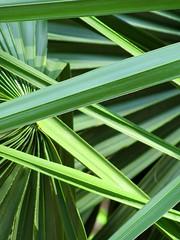 Palmetto Leaves 4 (Universal Pops (David)) Tags: green nature leaves design pattern natural northcarolina raleigh thin shape palmetto jayceepark raleighhemerocallisgarden