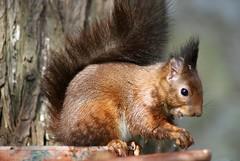 Nice smile.  Sciurus Vulgaris  DSC06181e (antarc foto) Tags: red squirrel catalunya esquilo ardilla eichhrnchen vulgaris cureuil matadepera esquirol sciurus deurope arrunta katagorri esquivo esguil ekiry iskojjattlu esguilo