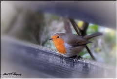 REBEL ROBIN (Shaun's Wildlife Images....) Tags: robins shaund