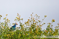 Beauty In Green Nature : Kalim Bird (Mahmud Fahmi) Tags: bangladesh kalim shunamgonj  tanguarhaor kalimbird