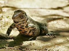 (Stassia) Tags: travel brazil southamerica nature water argentina waterfalls iguazu iguacu iguassu iguanaanimal