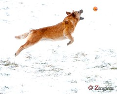 Perfect Form for Flight   RR5W7391W (zingpix) Tags: red usa dog dogs jeff washington cattle  australian queensland australiancattledog heeler acd redheeler blueheeler herding allrightsreserved zingpix jaquish