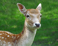 Fallow Deer (njchow82) Tags: portrait nature animal closeup wildlife fallowdeer calgaryzoo naturesfinest worldofanimals beautyunnoticed nancychow canonpowershotsx30is