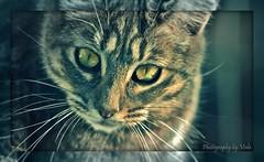 My sweet Micky    (Simply Viola) Tags: cats animals kittens felini gatti animali gattini