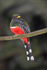 Masked Trogon (Trogon personatus) (Jeluba) Tags: bird nature canon ecuador wildlife aves ornithology birdwatching oiseau neotropical trogonpersonatus maskedtrogon trogonmasqu maskentrogon