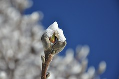 go back to sleep! (christiaan_25) Tags: blue winter light sky white snow cold tree sunshine season day open bright blossom bokeh blossoms january clear bloom magnolia toosoon