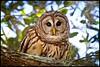 Barred Owl (jeannie'spix) Tags: owl barred joeoverstreet canoecreekroad