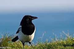 _DSC2472 (mary~lou) Tags: bird garden fletcher nikon dof mary magpie undefined gamewinner 15challengeswinner depthoffieldshallow mary~lou pregamewinner