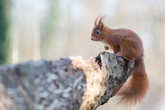 Un cureuil  sur un tronc, Red Squirrel (Zed The Dragon) Tags: wild animal french geotagged effects photography soleil photo squirrel squirrels flickr view minolta photos sony images best apo full f45 fave most frame getty faves 100 fullframe alpha antony animaux foret parc postproduction spec franais sal zed 2012 francais sceaux lightroom cureuil sauvage effets 200mm ecureuil parcdesceaux favoris 24x36 iso640 a850 0004sec sonyalpha hpexif 100comment parcsceaux dslra850 alpha850 zedthedragon 100coms