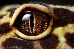 Eublepharis macularius - Eye of Sauron (SequentialMacro) Tags: macro 50mm prime lizard gecko leopardgecko macrolife afd360 canon550dflash