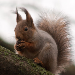 The Gnawatronium (TomiTapio) Tags: silly face mouth fur nose iso800 helsinki squirrel funny eating tail fluffy ears orava paws muzzle gnawing ruskeasuo écureuil sciurusvulgaris sqrl eartufts eurasianredsquirrel kurre canonef90300mmf4556usm
