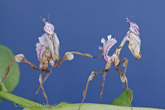 Idolomantis Diabolica nymphs (Queenofcalamity) Tags: flower macro bug giant mantis insect devils praying prayingmantis diabolica idolomantis flowermantis