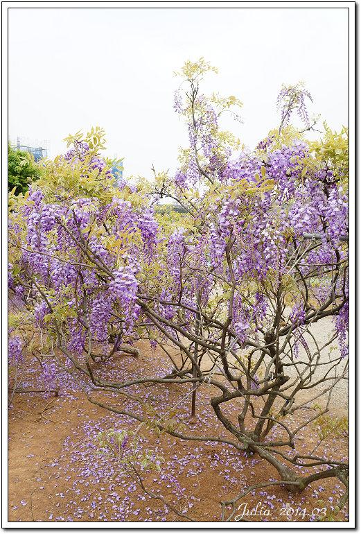 紫藤、老梅 (29)