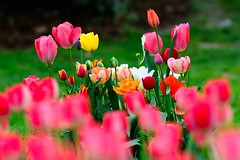 Happy Easter (Ralf.Pics) Tags: colors spring tulips tulipa frhling tulpen gruga nikond7100 nikkoraf180d