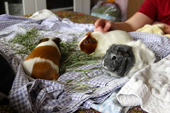 chillin' (On Bradstreet) Tags: pets love guineapig cavy females firstmeeting annabellebeatriceclaudia
