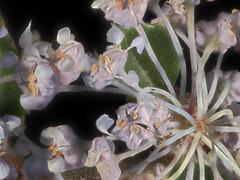 2014-04-21-10.45.06 ZS PMax Ceanothus gloriosus-1 (John Rusk) Tags: plantae ceanothus rosales rhamnaceae magnoliophyta magnoliopsida ceanothusgloriosus tracheophyta taxonomy:class=magnoliopsida taxonomy:order=rosales taxonomy:kingdom=plantae taxonomy:family=rhamnaceae taxonomy:genus=ceanothus taxonomy:phylum=magnoliophyta zerenestacker canonfd100mmmacrolens canonfd50mmmacrolens taxonomy:species=gloriosus taxonomy:superphylum=tracheophyta olympuspenepl1body taxonomy:binomial=ceanothusgloriosus
