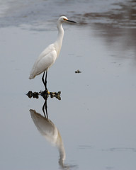 "Another egret • <a style=""font-size:0.8em;"" href=""http://www.flickr.com/photos/75865141@N03/13981690064/"" target=""_blank"">View on Flickr</a>"
