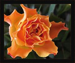 Koningsroos (♥ Annieta ) Tags: orange flower holland nature netherlands fleur rose canon flora ngc nederland natuur roos powershot april polder allrightsreserved oranje bloem 2014 krimpenerwaard coth supershot annieta coth5 usingthisphotowithoutpermissionisillegal sx30is