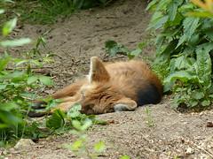 Mhnenwolf (Chriest) Tags: chrysocyonbrachyurus mhnenwolf zooosnabrck