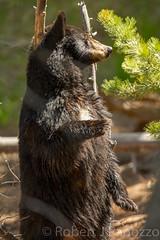 Not a poll dancer (ChicagoBob46) Tags: bear yellowstonenationalpark yellowstone sow blackbear